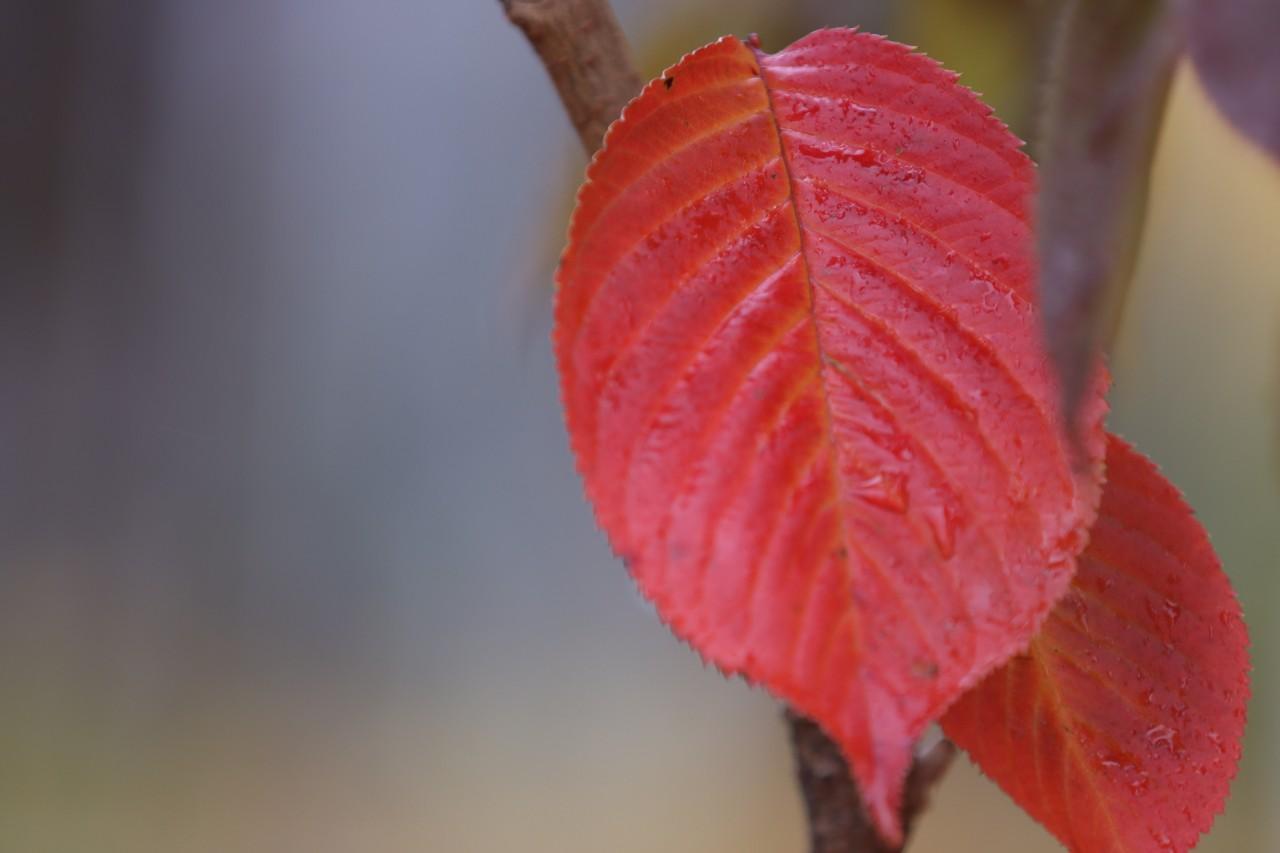 붉게 물든 단풍잎
