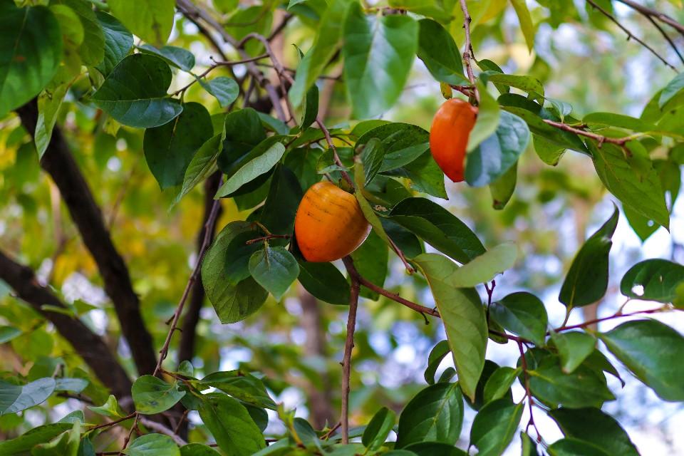 가을 햇살 품은 감나무